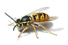 WP_Wasp